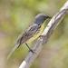 Setophaga kirtlandii - Photo (c) Laura Gooch, μερικά δικαιώματα διατηρούνται (CC BY-NC-SA)