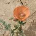 Sphaeralcea hastulata - Photo (c) James Bailey, algunos derechos reservados (CC BY-NC)