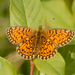 Silver-bordered Fritillary - Photo (c) Roberto Sindaco, some rights reserved (CC BY-NC-SA)