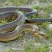 Zamenis longissimus - Photo (c) Paul Cools,  זכויות יוצרים חלקיות (CC BY-NC)