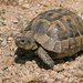 Greek Tortoise - Photo (c) Paul Cools, some rights reserved (CC BY-NC)