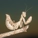 European Dwarf Mantis - Photo (c) Rinaldo R, some rights reserved (CC BY-NC-SA)