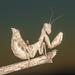 Mantis Enana Europea - Photo (c) Rinaldo R, algunos derechos reservados (CC BY-NC-SA)