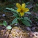 Pine Violet - Photo (c) dgreenberger, some rights reserved (CC BY-NC-ND)
