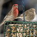 House Finch - Photo (c) BlueRidgeKitties, some rights reserved (CC BY-NC-SA)
