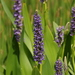 Pickerelweed - Photo (c) Justin, some rights reserved (CC BY-NC)
