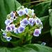 Myosotidium hortensium - Photo Ningún derecho reservado