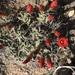 Echinocereus triglochidiatus triglochidiatus - Photo (c) Peggy Kipping, some rights reserved (CC BY-NC)