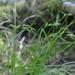 Carex leptopoda - Photo (c) Andrew Simon, algunos derechos reservados (CC BY-NC)