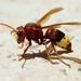 Ανατολίτικη Σφήκα - Photo (c) Nasser Halaweh, μερικά δικαιώματα διατηρούνται (CC BY)