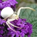 Aranha-Caranguejo-Das-Flores - Photo (c) tomvansichem, alguns direitos reservados (CC BY-NC)