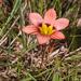Romulea hirsuta - Photo (c) carinalochner, algunos derechos reservados (CC BY-NC)