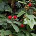 Rubus hirsutus - Photo (c) harum.koh, algunos derechos reservados (CC BY-SA)
