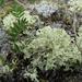 Flavocetraria nivalis - Photo (c) Kari Pihlaviita, algunos derechos reservados (CC BY-NC)