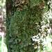 Pyxine retirugella - Photo (c) homegrownhawaiian, μερικά δικαιώματα διατηρούνται (CC BY-NC)