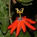 Red Passionflower - Photo (c) Ruth Ripley, some rights reserved (CC BY-NC)