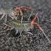 Megalorchestia californiana - Photo (c) Ingrid Taylar, algunos derechos reservados (CC BY)