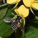 Megachile addenda - Photo (c) Royal Tyler, algunos derechos reservados (CC BY-NC-SA)