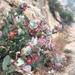 Arctostaphylos luciana - Photo (c) Jordan Collins, algunos derechos reservados (CC BY-NC)