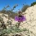 Monardella undulata - Photo (c) frankiecoburn, algunos derechos reservados (CC BY-NC)