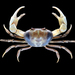 Pacific Land Crab - Photo (c) Ondřej Radosta, some rights reserved (CC BY-NC)
