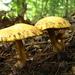 Suillus americanus - Photo (c) Dave Lewis, μερικά δικαιώματα διατηρούνται (CC BY-NC-SA)