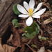 Bloodroot - Photo (c) Haley Appleman, some rights reserved (CC BY-NC)