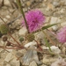 Mimosa quadrivalvis platycarpa - Photo (c) Melanie Schuchart, algunos derechos reservados (CC BY-NC)