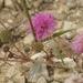 Mimosa quadrivalvis platycarpa - Photo (c) Melanie Schuchart, osa oikeuksista pidätetään (CC BY-NC)