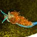 Facelinidae - Photo (c) Ken-ichi Ueda, algunos derechos reservados (CC BY-NC-SA)