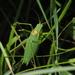 Isophya camptoxypha - Photo (c) carnifex, algunos derechos reservados (CC BY)