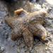 Aquilonastra anomala - Photo (c) Hetal Doshi, algunos derechos reservados (CC BY-ND)
