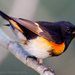 American Redstart - Photo (c) Dan Pancamo, some rights reserved (CC BY-SA)