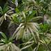 Cyrilla racemiflora - Photo (c) Lillie, μερικά δικαιώματα διατηρούνται (CC BY)