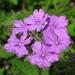 Glandularia tenera - Photo (c) TANAKA Juuyoh (田中十洋), algunos derechos reservados (CC BY)