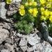 Draba densifolia - Photo no hay derechos reservados