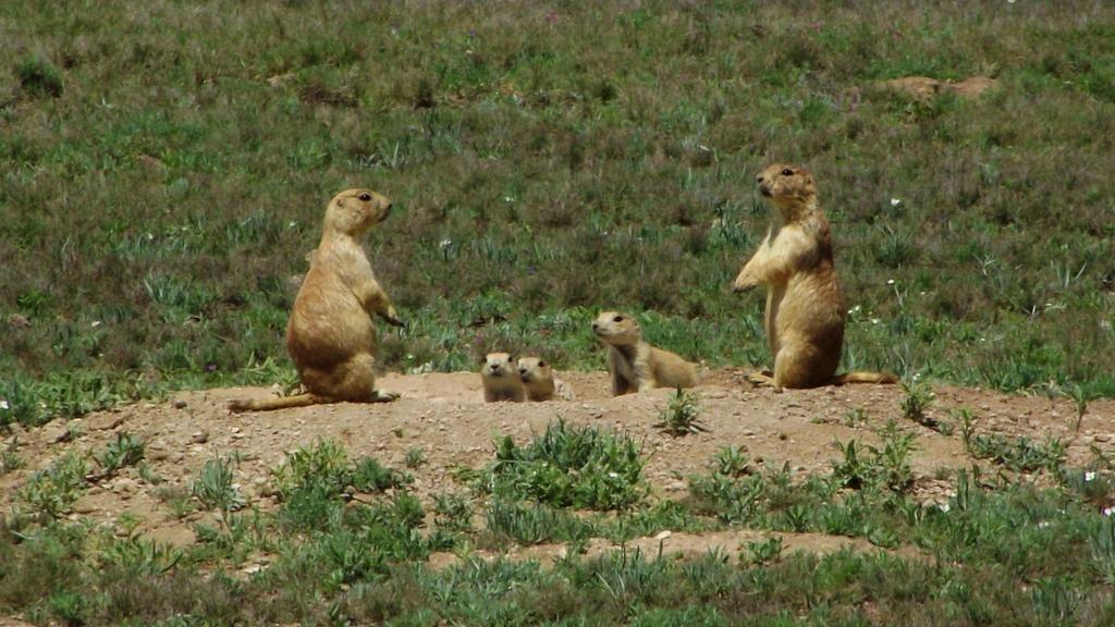 Photos of Mexican Prairie Dog (Cynomys mexicanus) · iNaturalist