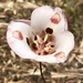 Mariposa Lilies - Photo (c) catchang, some rights reserved (CC BY-NC)