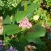 Chamaemespilus alpina - Photo (c) peganum,  זכויות יוצרים חלקיות (CC BY-SA)