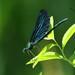 Gaiteiro Azul - Photo (c) markus lilje, alguns direitos reservados (CC BY-NC-ND)