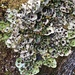 Solorina saccata - Photo (c) Samuel Brinker, algunos derechos reservados (CC BY-NC)