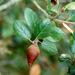 Encino Verde - Photo (c) NatureShutterbug, algunos derechos reservados (CC BY)