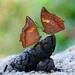 Mariposas Hojarasca - Photo (c) shiladityaacharjee, algunos derechos reservados (CC BY-NC)