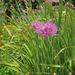 Allium validum - Photo (c) Josh*m, algunos derechos reservados (CC BY-NC-SA)