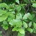 Quercus bicolor - Photo (c) Jean-Pol GRANDMONT, algunos derechos reservados (CC BY-SA)