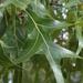 Quercus laevis - Photo (c) Bruce Kirchoff, osa oikeuksista pidätetään (CC BY)