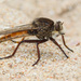 Proctacanthus - Photo (c) Greg Lasley, μερικά δικαιώματα διατηρούνται (CC BY-NC)