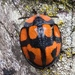 Botanochara angulata - Photo (c) Javier A. Canteros, some rights reserved (CC BY-NC-SA)