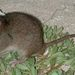 Bramble Cay Melomys - Photo (c) Ian Bell, EHP, State of Queensland, some rights reserved (CC BY)