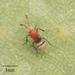 Encyrtidae - Photo Δεν διατηρούνται δικαιώματα